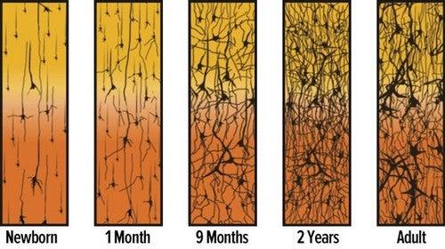 neuroner i hjernen