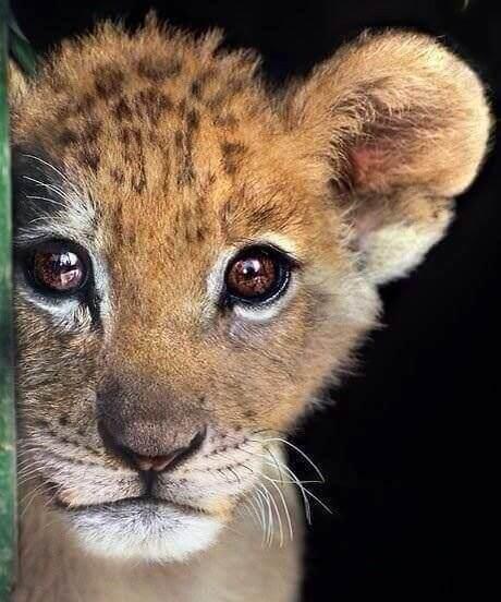 Løveunge.